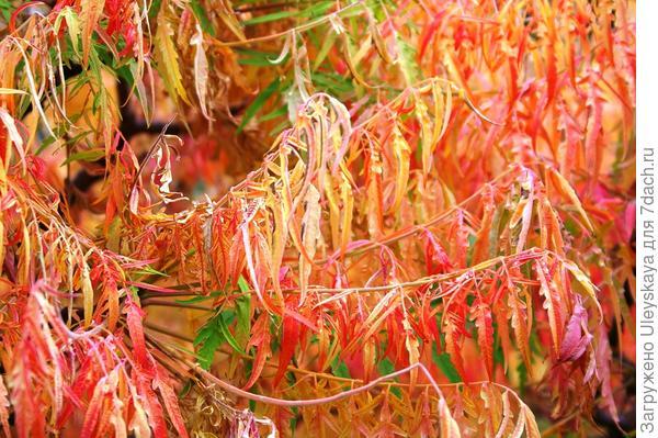 Сумах оленерогий Laciniata осенью