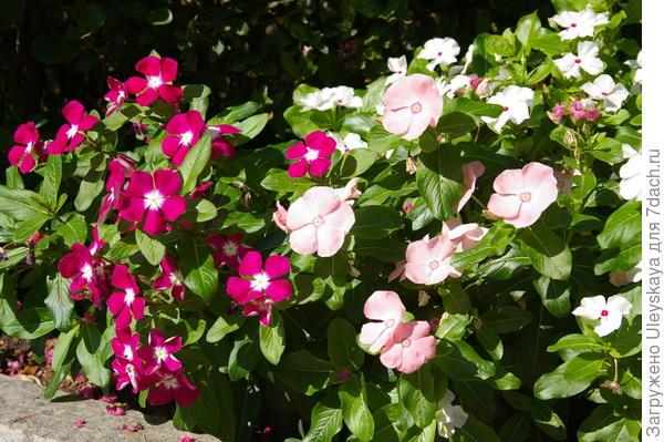 Катарантусы в цветочном бордюре