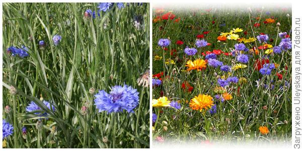 Василек синий, фото автора. С другими цветами. Фото с сайта lyudmilakotova.blogspot.ru