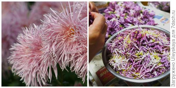 Хризантема садовая сорт Rayonnante Pink, фото автора. Подготовка хризантем к использованию. Фото с сайта hanasasara.com