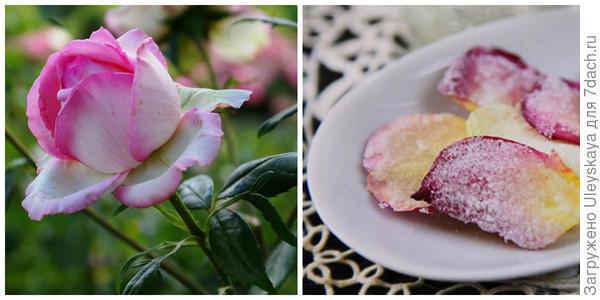 Роза сорт Honore de Balzac, фото автора. Десерт из лепестков роз. Фото с сайта listofbest.ru