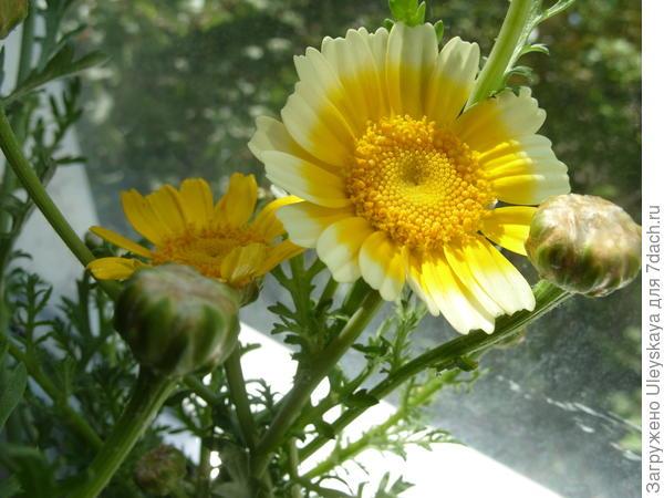 Хризантема увенчанная – съедобная и полезная, фото автора