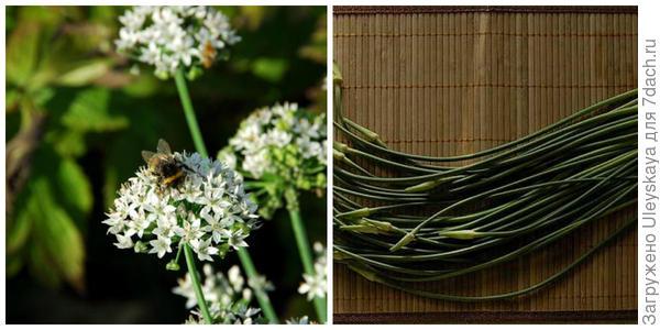 Лук душистый. Фото с сайта asianflora.com. Его цветочные стрелки. Фото с сайта shakherezada.dreamwidth.org