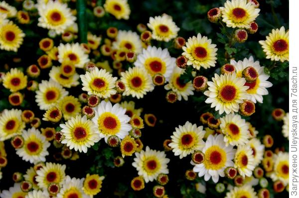 Хризантема садовая сорт Pico Exota