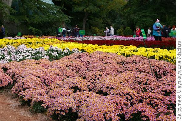 Мини-поле бордюрных хризантем, фото автора