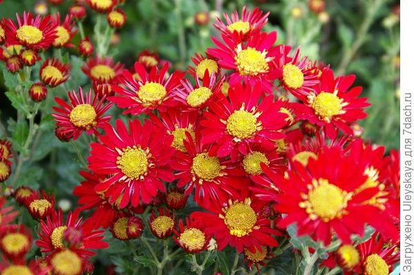 Хризантема садовая сорт Орфей