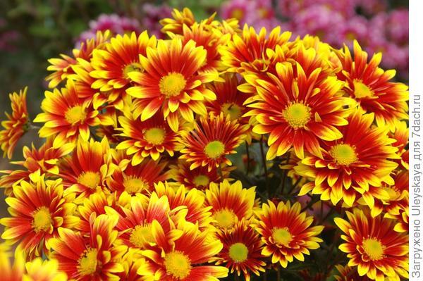 Хризантема садовая сорт Сашенька