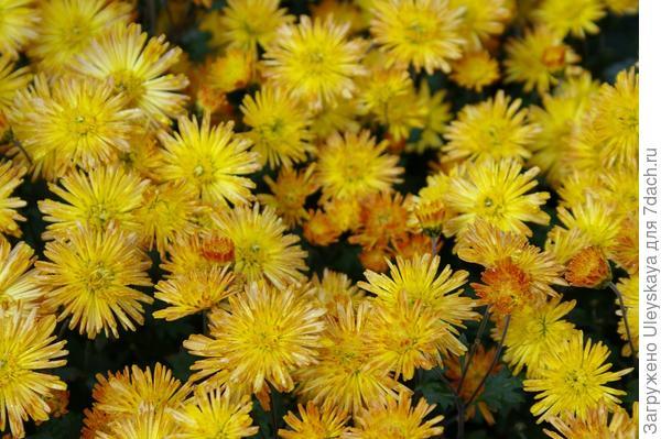 Хризантема садовая сорт Охристый луч