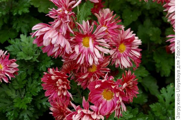 Хризантема садовая сорт Бордо