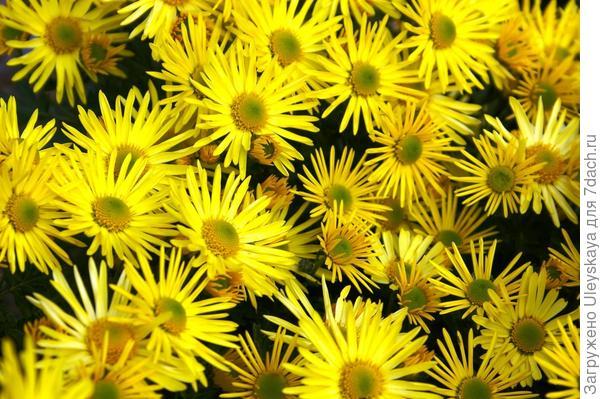 Хризантема садовая сорт Солнечный денек