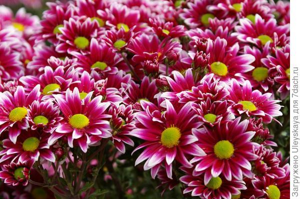 Хризантема садовая сорт Two Tone Pink