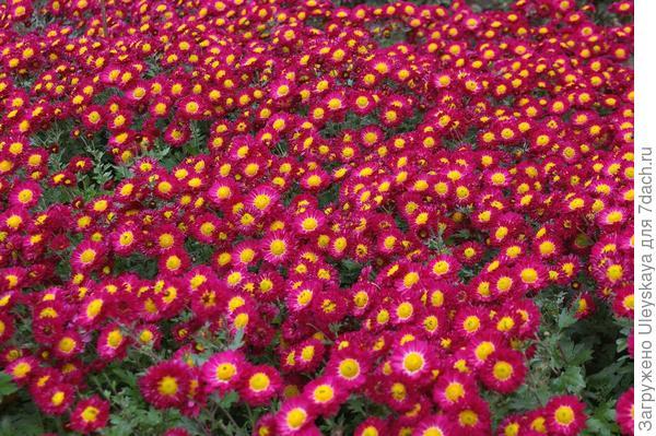 Хризантема садовая сорт Струя лазури
