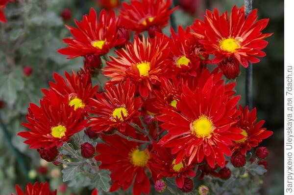 Хризантема садовая сорт Краски осени, фото автора