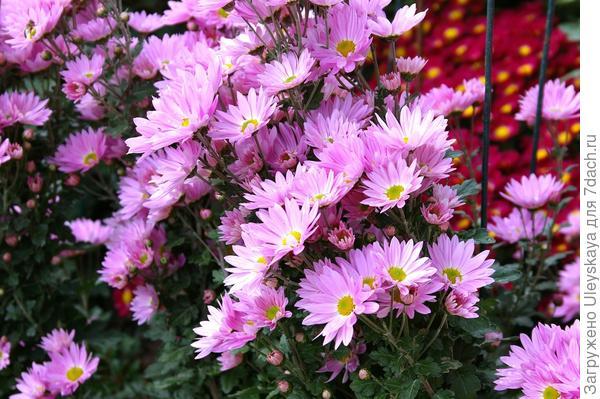 Хризантема садовая сорт Фиолент