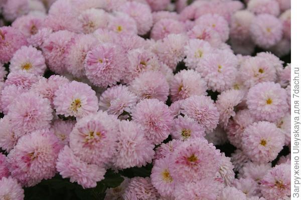 Хризантема садовая сорт Славяночка