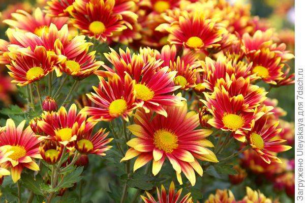 Хризантема садовая сорт Артист