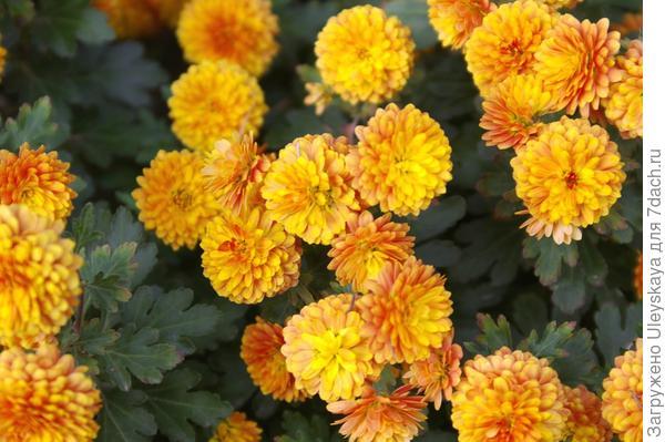 Хризантема садовая сорт Никитская юбилейная