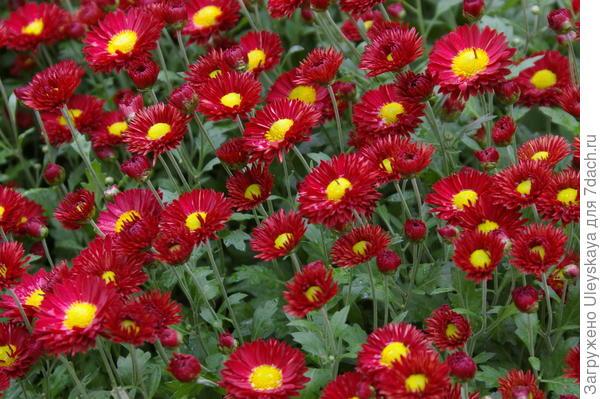 Хризантема садовая сорт Юрий Богатиков
