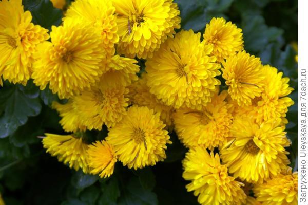 Хризантема садовая сорт Золотоволоска