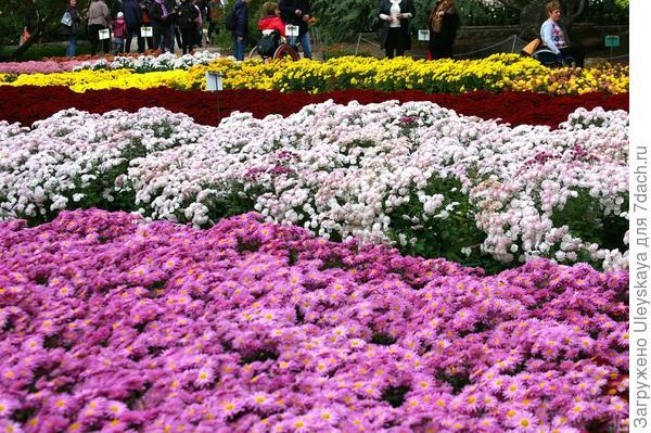 Фрагмент мини-поля с бордюрными хризантемами, фото автора