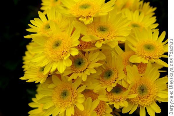 Хризантема садовая сорт Inga,