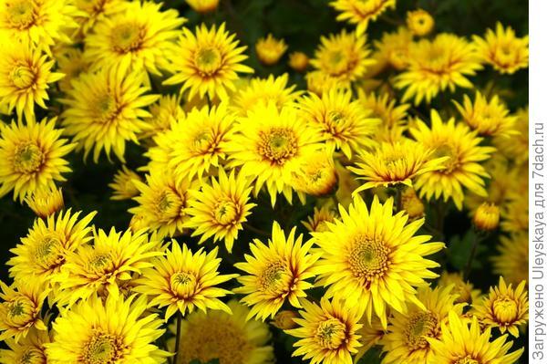 Хризантема садовая сорт Солнышко
