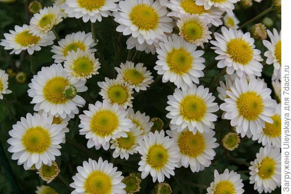 Хризантема садовая сорт Русское поле