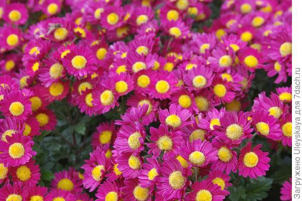 Хризантема садовая сорт Мальвина