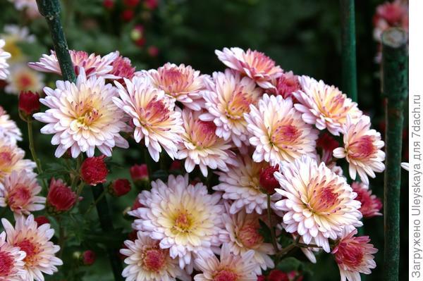 Хризантема садовая сорт Осенний вальс