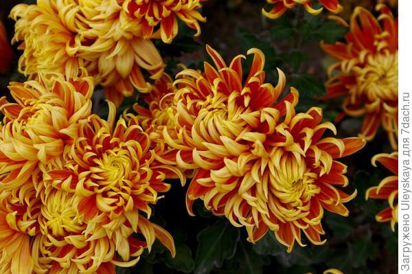 Хризантема садовая сорт Lovisette