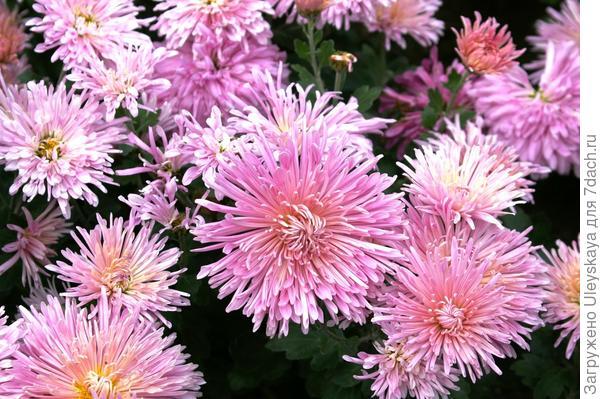 Хризантема садовая сорт Linda