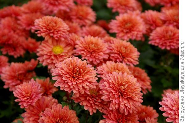Хризантема садовая сорт Терра росса