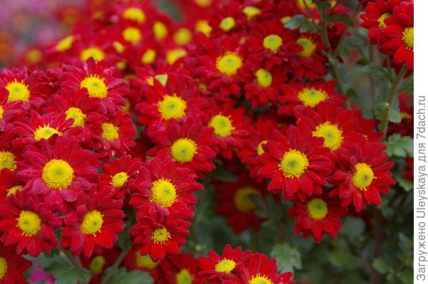 Хризантема садовая сорт Imany