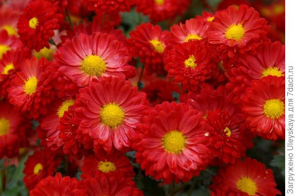 Хризантема садовая сорт Оксамитка