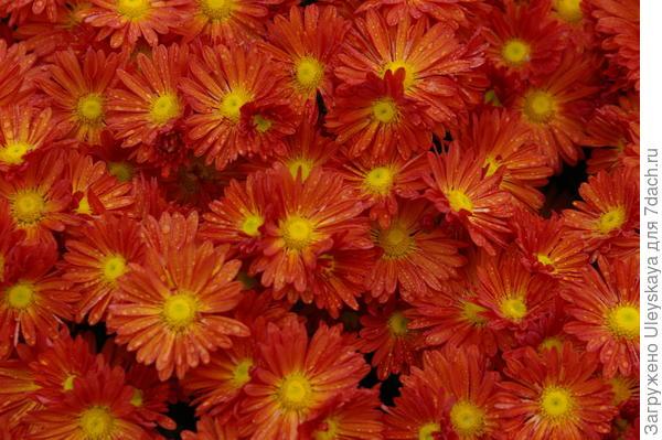 Хризантема садовая сорт Милашка, фото автора