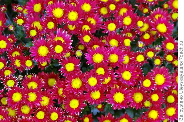 Хризантема садовая сорт Сухоцветик
