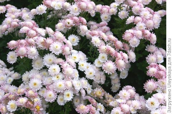 Хризантема садовая отечественный сорт Медея