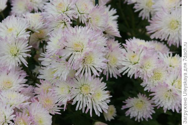 Хризантема садовая сорт Аннушка