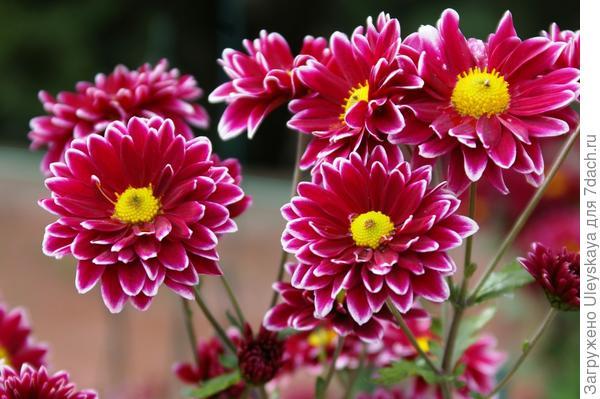 Хризантема садовая сорт Orinoco