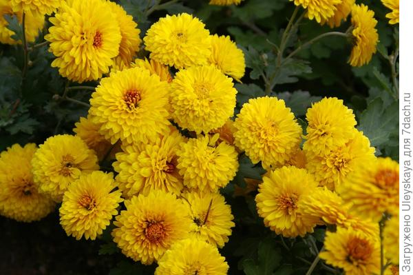 Хризантема садовая сорт Солнечная феерия