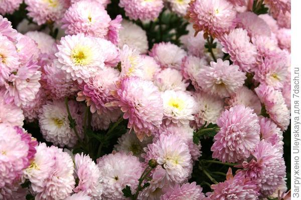 Хризантема садовая сорт Букетный Розовый