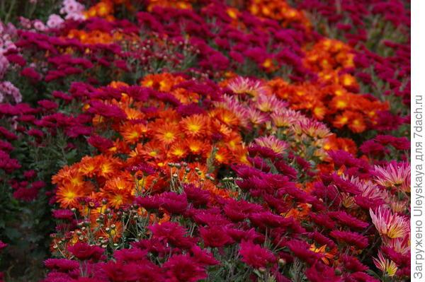 Цветут хризантемы в Никите, фото автора