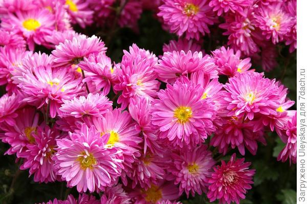 Хризантема садовая сорт Сиреневая Мелодия