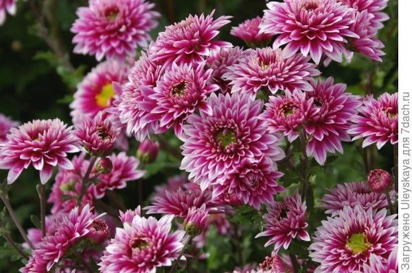 Хризантема садовая сорт Виктория