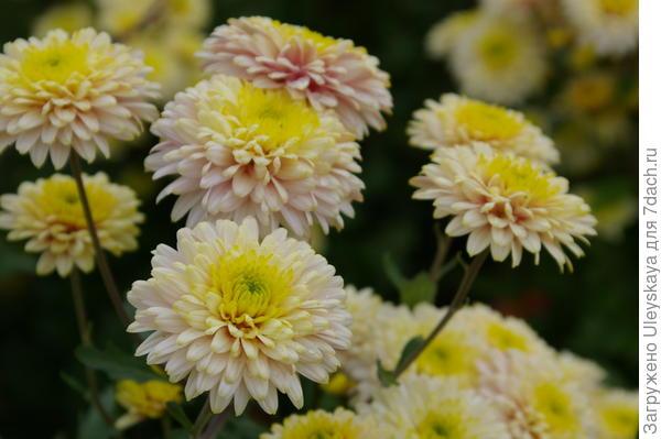Хризантема садовая сорт Нежность