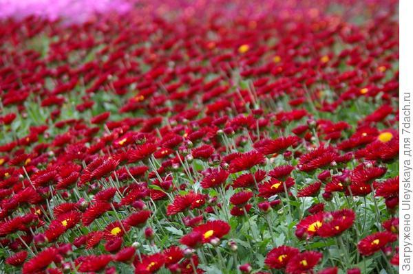 Хризантема садовая сорт Юрий Богатиков, массовое цветение