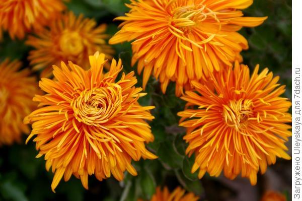 Хризантема садовая сорт Сердце Артека