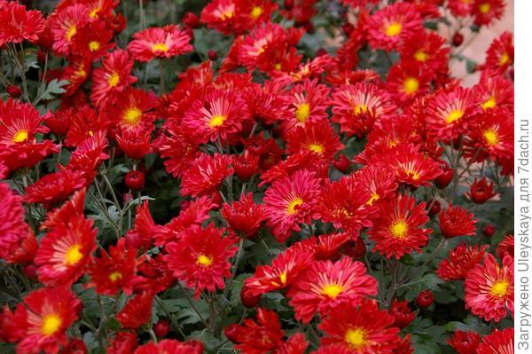 Хризантема садовая сорт Артемон