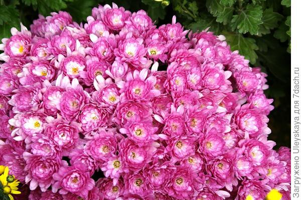 Хризантема садовая сорт Proxima Violet