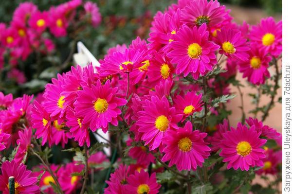 Хризантема садовая сорт Малиновка